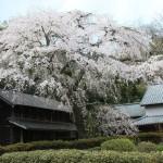 赤仁田のしだれ桜