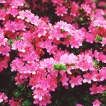 Rosebay azalea
