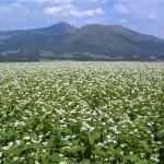 久木野の蕎麦畑