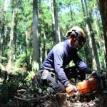 小国杉伐倒の画像