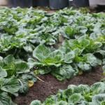 小国町の黒菜の画像
