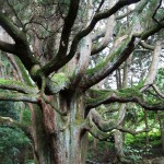 다카모리전 삼나무