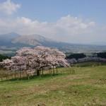 観音桜と牧野