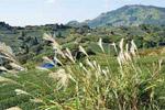 静岡の茶草場