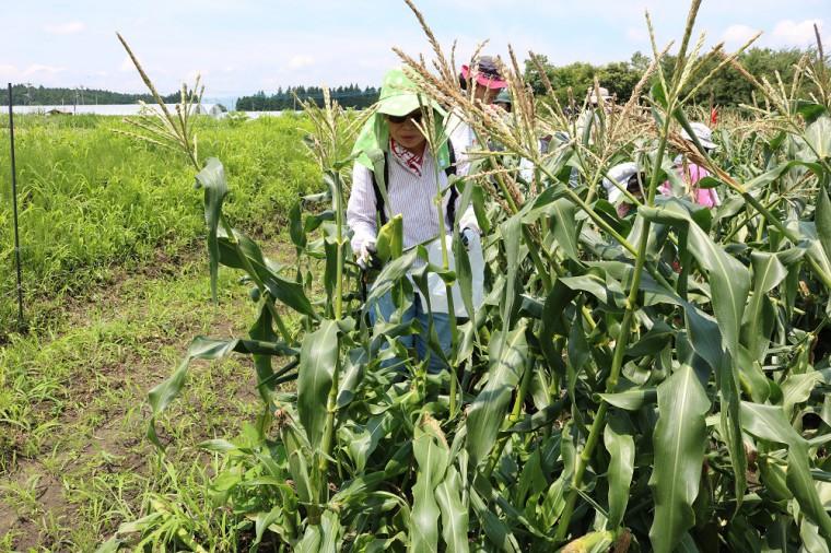 トウモロコシ収穫5