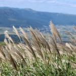 Image of Japanese pampas grass