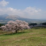 Image of the Kannon cherry blossoms