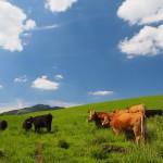 草原とあか牛の画像